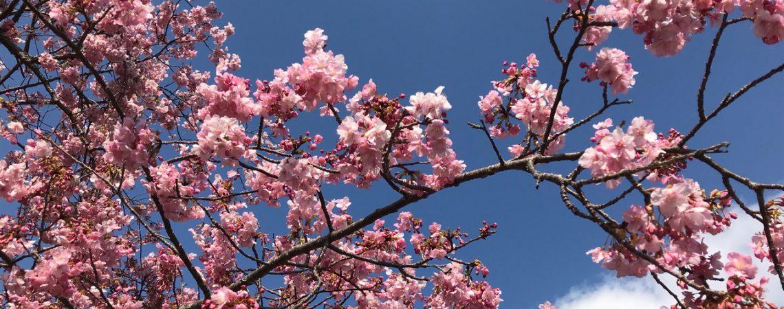 静岡の河津桜1
