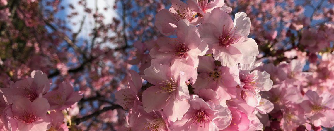 静岡の河津桜2